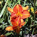 'Hemerocallis Prime Minister' flower in Walled Garden of Parham House West Sussex England.jpg