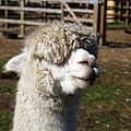'Vicugna pacos' Alpaca at Capel Manor College Gardens Enfield London England 3.jpg