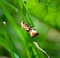 (0954) Eupoecilia angustana (34177144613).jpg