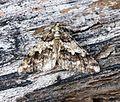 (1932) Spring Usher (Agriopis leucophaearia) - Flickr - Bennyboymothman.jpg