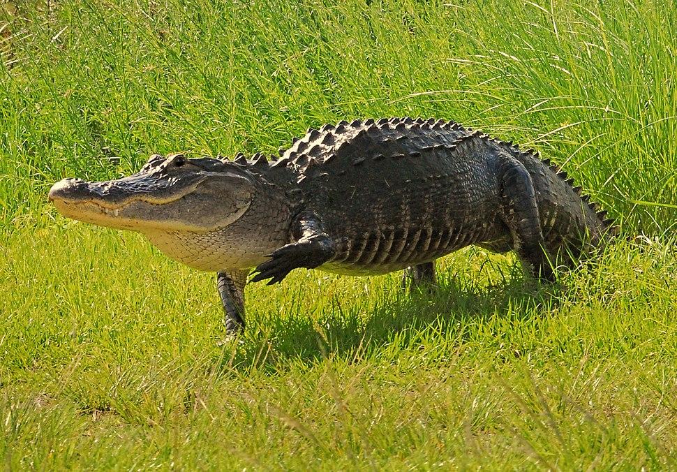 *Big* Walking Gator at lake Woodruff