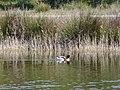 Ànec blanc a l'estany del braç de la Vidala P1100400.jpg