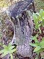 Апостоловский лес мох.jpg