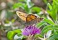 Буроглазка Мегера (Краеглазка мегера) - Wall Brown - Lasiommata megera - Mauerfuchs (30679047361).jpg