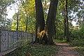 Вековые тополя в Графском парке - panoramio.jpg