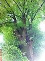 Дерева в самбірському парку - panoramio.jpg