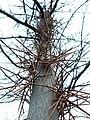 Дерево-колючка 02.JPG