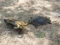 Европейская болотная черепаха.3.jpg
