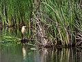 Желтая цапля - Squacco Heron (14245080143).jpg