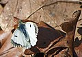 Зорька (Аврора) - Anthocharis cardamines - Orange Tip - Кардаминова пеперуда - Aurorafalter (32212126366).jpg