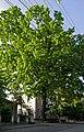 Красень-дуб на Артинова P1120494.JPG