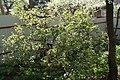 Куст квітнеючых чырвоных парэчак у Мінску.JPG