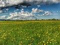 Лилейное поле в районе села Егорьевка3.jpg