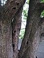 Старовинна груша на Карнаватці 15.jpg