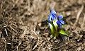 Цветущая пролеска сибирская (8667536483).jpg