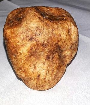 Tuber (fungus) - Image: دنبلان یامچی Yamchi Truffle