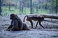مجموعه عکس از رفتار میمون ها در باغ وحش تفلیس- گرجستان 12.jpg