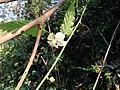 ナガバモミジイチゴの花弁が丸いタイプの花.jpg