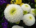 乒乓菊 Chrysanthemum morifolium Pompon Form -香港花展 Hong Kong Flower Show- (40198238561).jpg