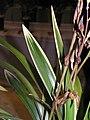 墨蘭葉藝-龍鳳冠 Cymbidium sinense Leaf-art-series -香港沙田國蘭展 Shatin Orchid Show, Hong Kong- (9252394385).jpg