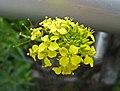小花糖芥 Erysimum cheiranthoides -奧地利維也納 Vienna Danube Island, Austria- (27856524666).jpg