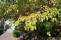 小金台にて Nuts of flowering dogwood 2013.10.17 - panoramio.jpg