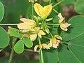 決明(假綠豆) Cassia tora -香港西貢獅子會自然教育中心 Saikung, Hong Kong- (9216101258).jpg