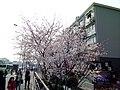 漕宝路七号桥头的樱花树 6.jpg