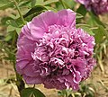 牡丹-魏紫 Paeonia suffruticosa 'Wei Purple' -洛陽神州牡丹園 Luoyang, China- (12537609134).jpg