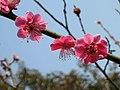 硃砂梅 Armeniaca mume f purpurea -南京梅花山 Nanjing, China- (33283656162).jpg