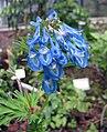 穆坪紫堇 Corydalis flexuosa -比利時 Ghent University Botanical Garden, Belgium- (9198149333).jpg