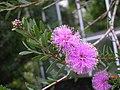 粉紅球花白千層 Melaleuca nesophila -阿姆斯特丹植物園 Hortus Botanicus, Amsterdam- (9200928764).jpg