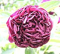 芍藥-紫綾 Paeonia lactiflora 'Purple Fine Silk' -北京景山公園 Jingshan Park, Beijing- (12403738355).jpg