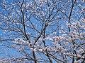 近つ飛鳥風土記の丘 駐車場付近の桜の木 2013.3.30 - panoramio.jpg