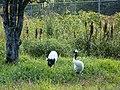 釧路市丹頂鶴自然公園 Kushiroshi Red-crowned Crane Natural Park - panoramio.jpg