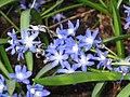 雪光花 Chionodoxa sardensis -荷蘭 Keukenhof Flower Show, Holland- (9198183463).jpg