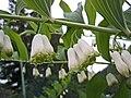 黃精屬 Polygonatum × hybridum -挪威 Ulvik, Norway- (35828019342).jpg