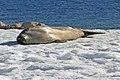 00 2196 Antarctica, Crabeater seal (Lobodon carcinophagus).jpg