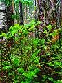 010LE. Blueberry in the park Sosnovka.jpg