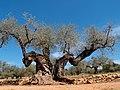 1000-jähriger Olivenbaum in Ulldecona, Spanien.jpg