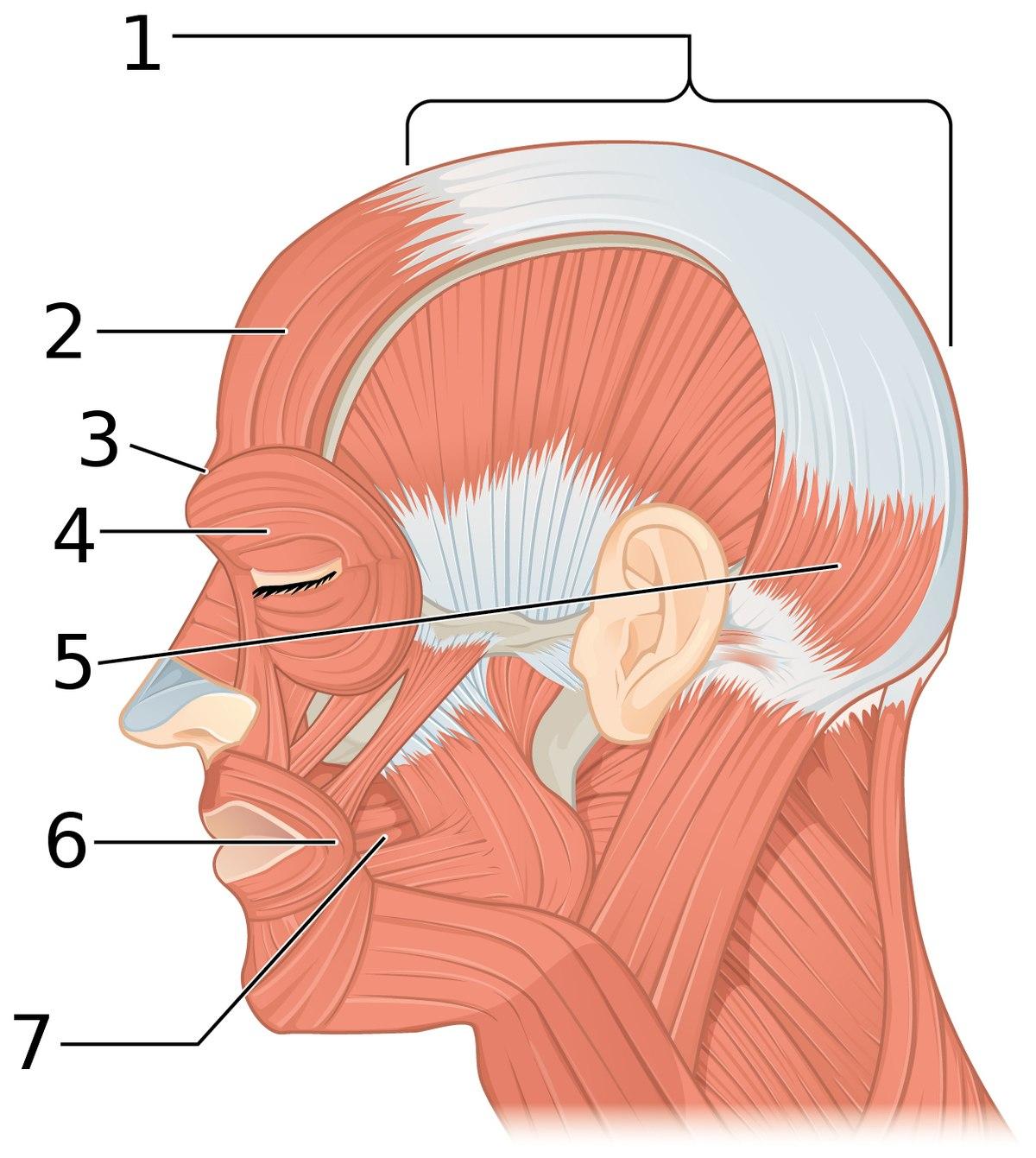 Epicranial aponeurosis - Wikipedia