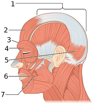 Epicranial aponeurosis - Muscles of the head, face, and neck. (Epicranial aponeurosis visible at top labeled 1.)