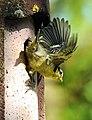 12 bis 17 Tage dauert die Brut bis die Blaumeisen das Nest verlassen. 02.jpg