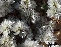 13 bis) flore El Kantara (Alger).jpg