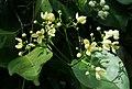 19999-Cuervea kappleriana-Caura.jpg