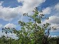 20120731Arctium lappa5.jpg