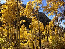 2013-10-06 15 04 21 Aspens during autumn along the Changing Canyon Nature Trail in Lamoille Canyon, Nevada.jpg