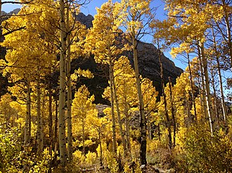 Populus tremuloides - Quaking aspen grove in Lamoille Canyon, Nevada, U.S.