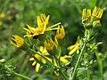 20141013Jacobaea vulgaris2.jpg