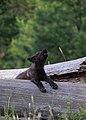 2014 Wenaha pup ODFW (17086827437).jpg
